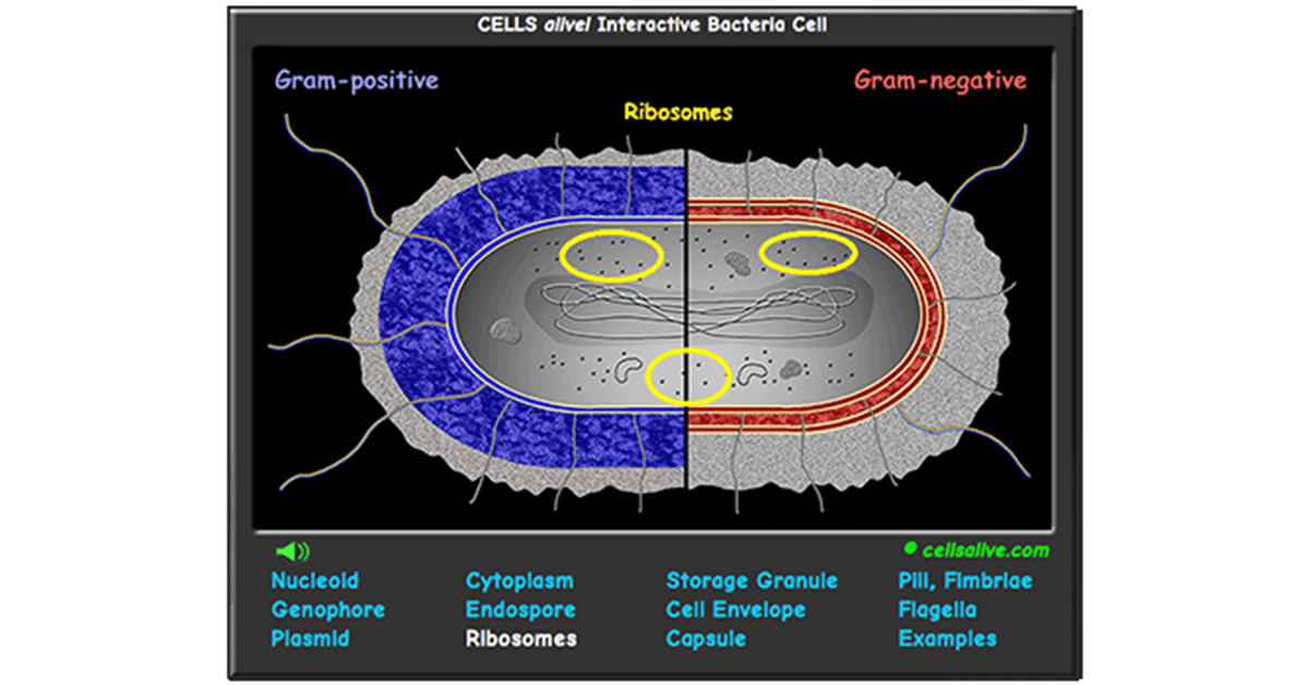 Interactive Bacteria Cell Model – Cells Alive Worksheet Answers