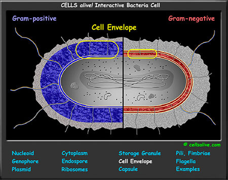 Interactive cell models prokaryotic cell model ccuart