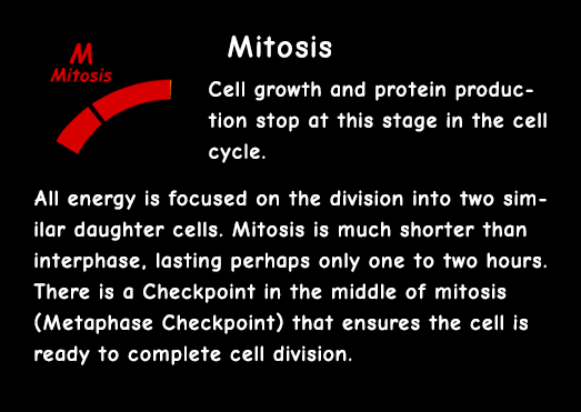 Interactive Cell Cycle