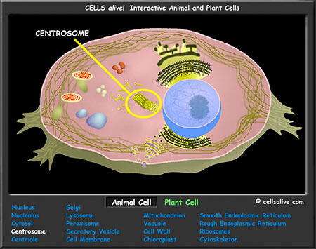 Animal Cell Coloring Page Answers : Interactive cell models