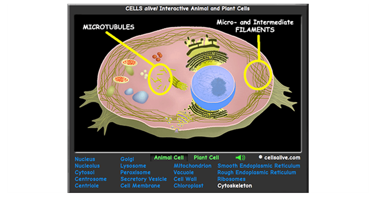 Interactive Eukaryotic Cell Model